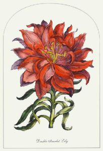 Double Scarlet Lily (Restrike Etching) by Anonymous