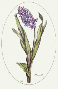 Hyacinth - Plate II (Restrike Etching) by Anonymous
