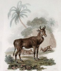 Nylghau - White Footed Antelope (Restrike Etching) by Julias Caesar Ibbetson