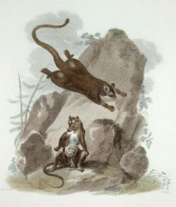 Flying & Virginian Oppossums (Restrike Etching) by Julias Caesar Ibbetson
