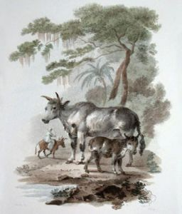 Lebu or Indian Ox (Restrike Etching) by Julias Caesar Ibbetson