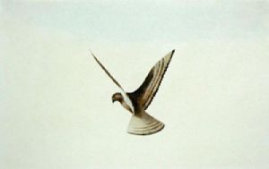 Hawk (Restrike Etching) by Anonymous