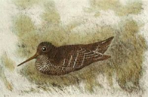 Woodcock (Restrike Etching) by Anonymous
