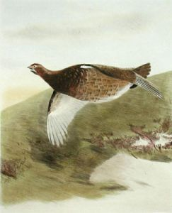 Grouse (Restrike Etching) by Anonymous