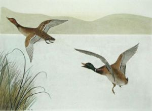 Mallard flying left (Restrike Etching) by Anonymous