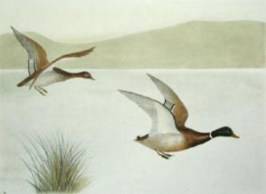 Mallard flying right (Restrike Etching) by Anonymous