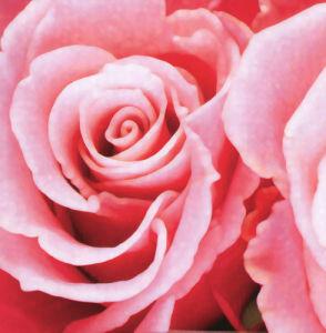 Rose III by Erin Rafferty