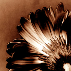 Gerbera I by Erin Rafferty