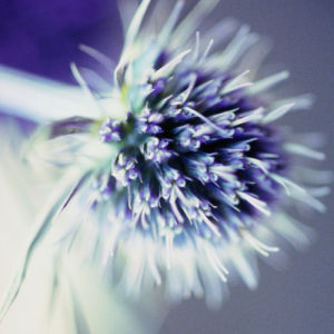 Lavender Thistle II by Erin Rafferty