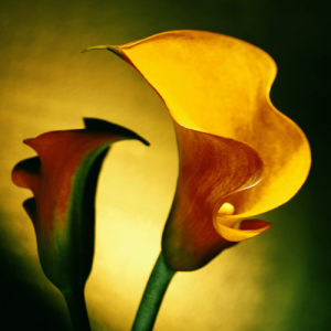 Calla Lily I by Erin Rafferty