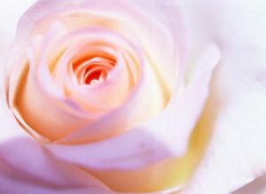 Rose VI by Erin Rafferty