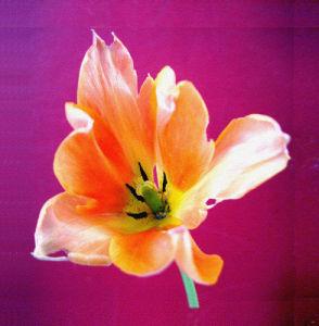 Tiger Lily by Erin Rafferty