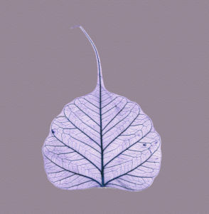 X-Ray leaf 2 by Erin Rafferty
