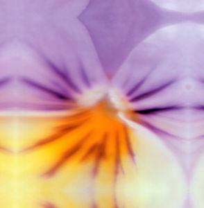 Lilac bloom by Erin Rafferty