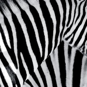 Zebra by Erin Rafferty