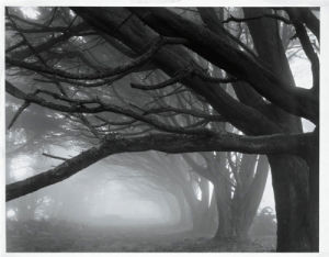 Cypresses, Skyline Drive, South San Francisco, 1996 by Mark Citret