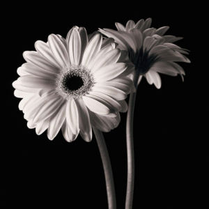 Gerber Daisies 1 by Michael Harrison