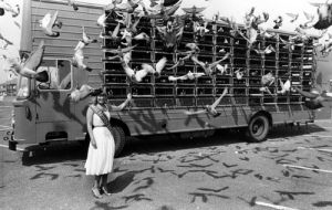 Pigeon race, Whitley Bay 1980 by Mirrorpix