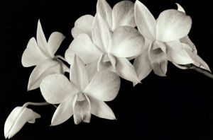 Orchid II by Ahmed Sirry