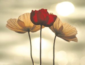 Icelandic Poppies by Yoshizo Kawasaki