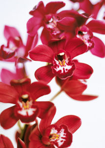 Dendrobium Orchids by Caroline Purday