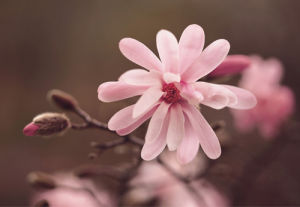 Magnolia Stellata by Anonymous
