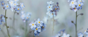 Forget-Me-Nots by Ian Winstanley
