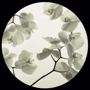 Orchid I by Ian Winstanley