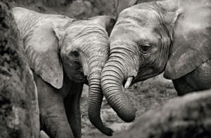 Elephants in Love by Marina Cano