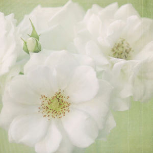White Roses on Linen by Shana Rae