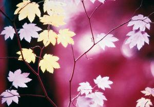 Vine Maple Tree by Paul Edmondson