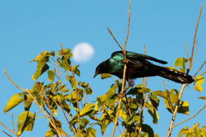Southern Lesser Blue-Eared Starling (Lamprotornis elisabeth), Okavango Delta, Botswana by Sergio Pitamitz