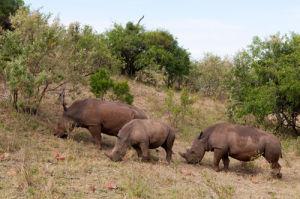 White Rhinoceros (Cerototherium simium), Masai Mara, Kenya by Sergio Pitamitz