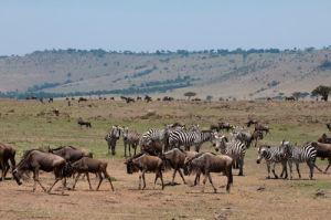 Wildebeest (Connochaetes taurinus) and Zebra (Equus quagga), Masai Mara, Kenya by Sergio Pitamitz