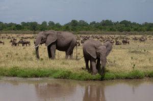 African Elephant (Loxodonta africana), Masai Mara, Kenya by Sergio Pitamitz