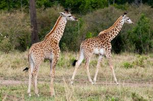 Masai Giraffe (Giraffa camelopardalis), Masai Mara, Kenya by Sergio Pitamitz
