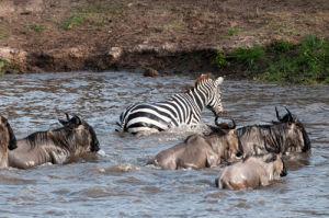 Wildebeest and zebra crossing Mara River during annual migration, Masai Mara, Kenya by Sergio Pitamitz
