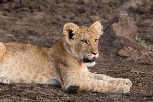 Lion (Panthera leo), Masai Mara, Kenya by Sergio Pitamitz