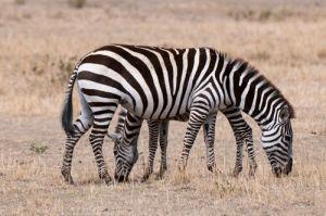 Zebra (Equus quagga), Masai Mara, Kenya by Sergio Pitamitz