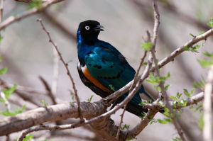 Superb Starling (Lamprotornis superbus), Samburu National Park, Kenya by Sergio Pitamitz