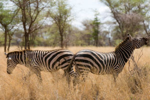 Zebra, Meru National Park, Kenya by Sergio Pitamitz