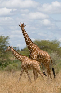 Reticulated Giraffe, Meru National Park, Kenya by Sergio Pitamitz