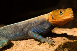 Agama Lizard, Meru National Park, Kenya by Sergio Pitamitz