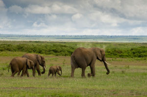 Elephants, Amboseli National Park, Kenya by Sergio Pitamitz