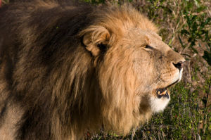 Lion roaring (Panthera leo), Masai Mara National Reserve, Kenya by Sergio Pitamitz
