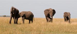African Elephants (Loxodonta africana), Masai Mara National Reserve, Kenya by Sergio Pitamitz
