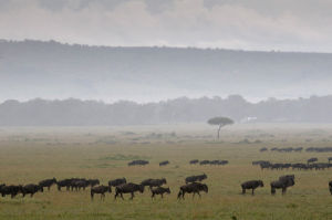 Wildebeest (Connochaetes taurinus) during annual migration, Masai Mara National Reserve, Kenya by Sergio Pitamitz