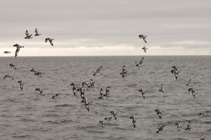 Cape Petrels (Daption capense), Antarctica by Sergio Pitamitz