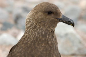 South Polar Skua (Stercorarius maccormicki), Petermann Island, Lemaire Channel, Antarctica by Sergio Pitamitz