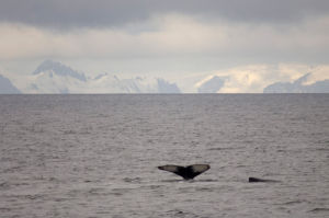 Whale near Livingston Island, South Shetland Islands, Antarctica by Sergio Pitamitz